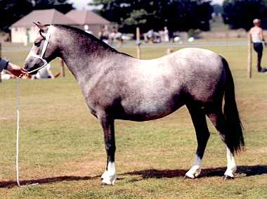 Bryndefaid Anja - Scottish Horse